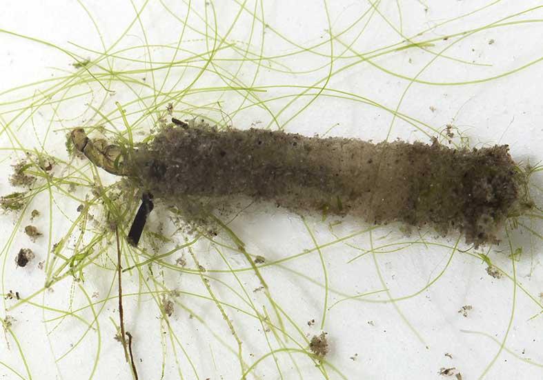 Psectrocladius obvius - Fam. Chironomidae - Zuckmücken - aquatische Dipteren-Larven