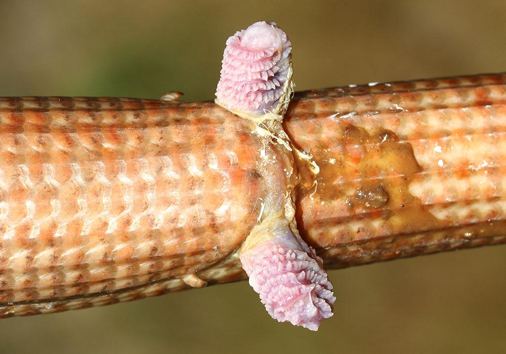 Pseudopodus apodus - Scheltopusik - ausgestülpter Hemipenis - Lacertilia - Echsen - lizards