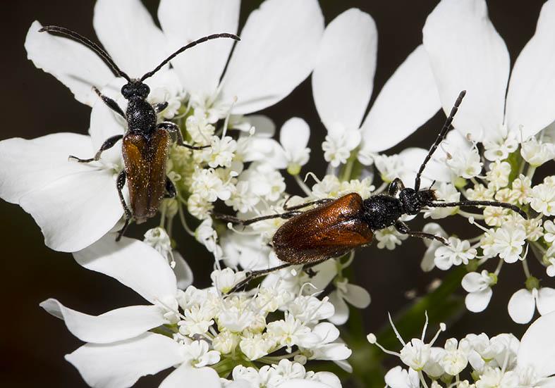 Pseudovadonia livida - Kleiner Halsbock - UFam. Lepturinae  - Zagori (Griechenland) - Cerambycidae - Bockkäfer - long-horned beetles