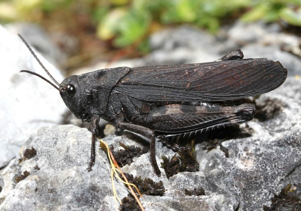 Psophus stridulus - Rotflügelige Schnarrschrecke - UFam. Oedipodinae - Acrididae - Feldheuschrecken - grasshoppers