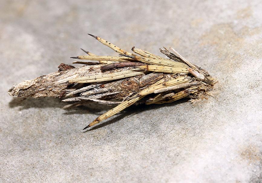 Psychidae - Sackträger - Samos - Raupen - Caterpillars