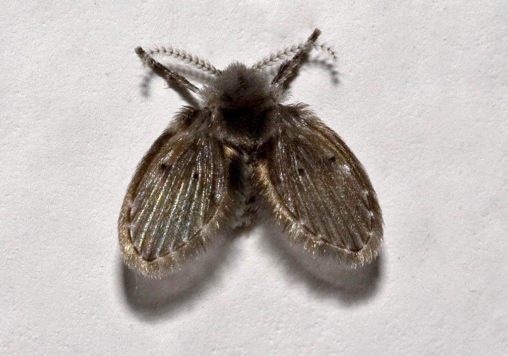 Psychoda sp.- Abwasserfliege - Amorgos - Diptera - Fliegen