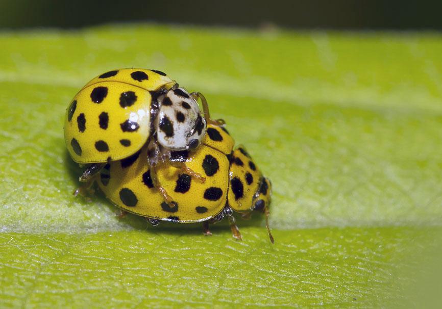 Psyllobora-vigintiduopunctata -  - Coccinellidae - Marienkäfer - lady beetles