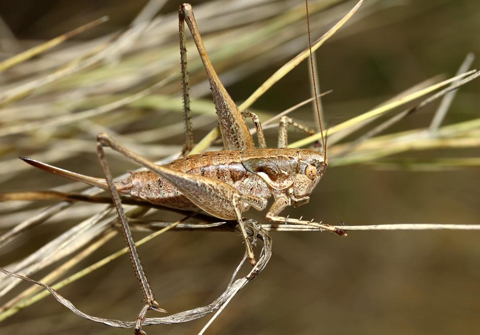 Pterolepis germanica - Zierliche Strauchschrecke -  Korfu - Ensifera - Tettigonidae - Laubheuschrecken - bush crickets