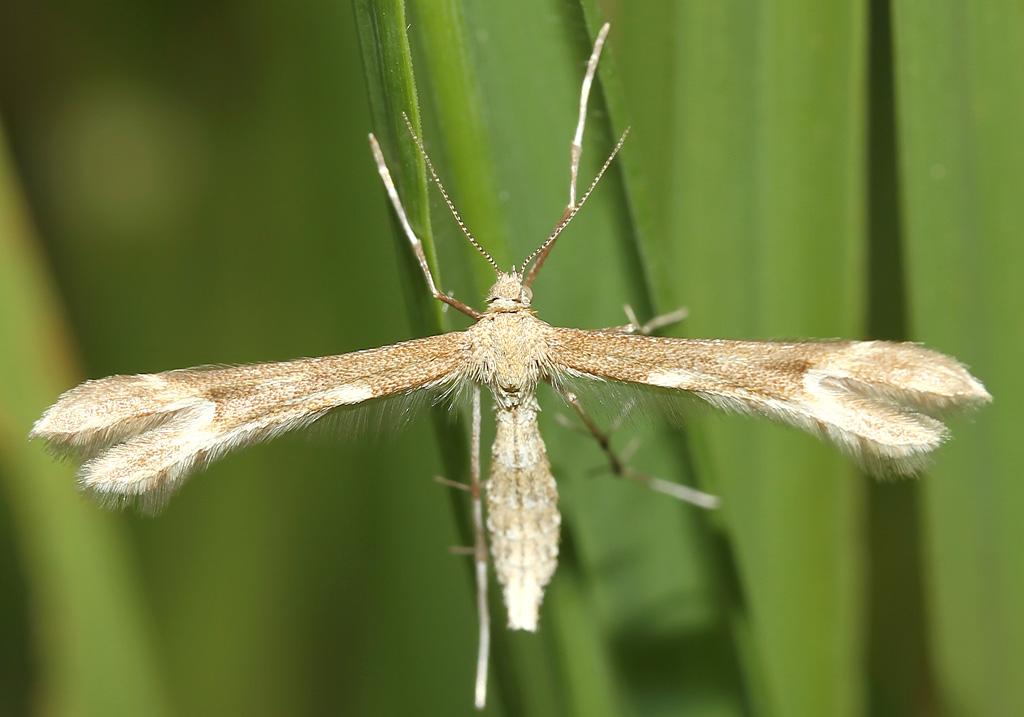 - Fam. Pterophoridae - Federmotten -