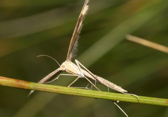 Pterophoridae - Federmotten - Fam. Pterophoridae - Federmotten -