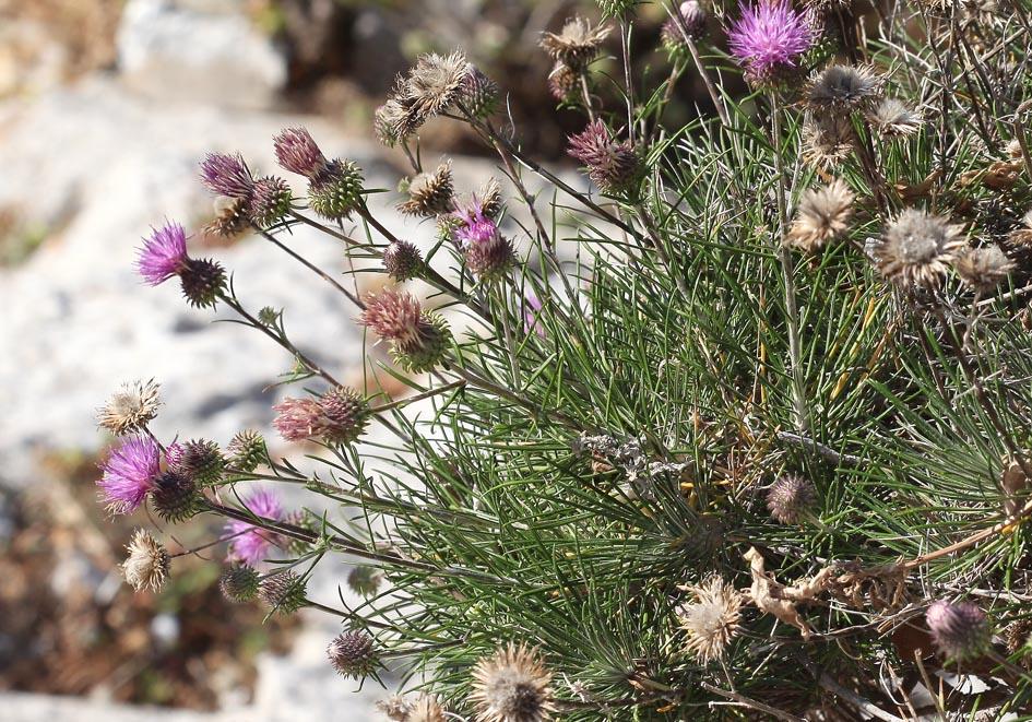 Ptilostemon chamaepeuce -  Scheinfichten-Kratzdistel - shrubby ptilostemon -  - Felsen - rocks