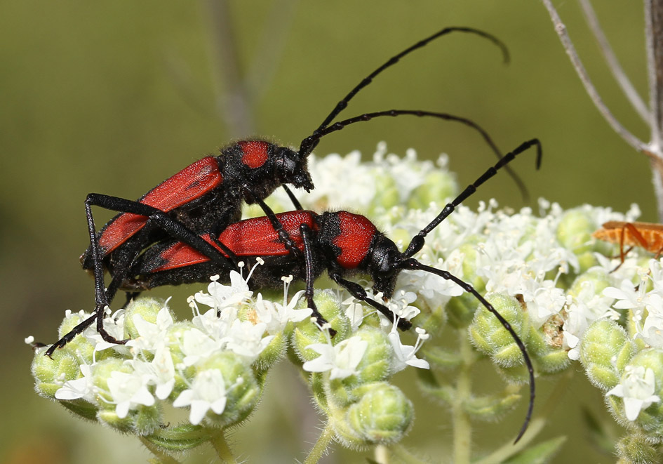 Purpuricenus budensis  - UFam. Lepturinae   -   Lesbos - Cerambycidae - Bockkäfer - long-horned beetles