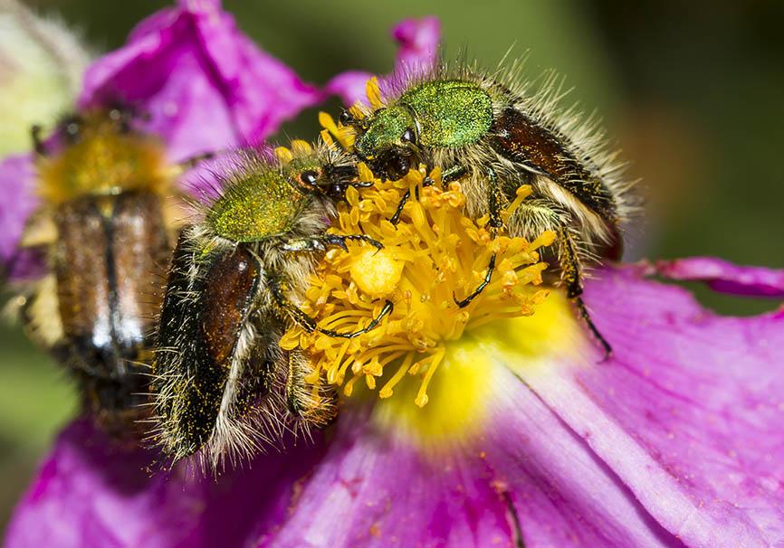 Pygopleurus sp. - Fam. Glaphyridae  -  Meteora - Tessalien - Scarabaeidea - Blatthornkäfer - scarab beetles