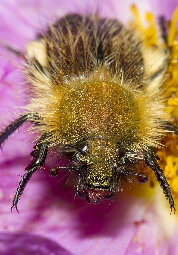 Pygopleurus sp. - Fam. Glaphyridae  -  Zagori - Epirus - Scarabaeidea - Blatthornkäfer - scarab beetles