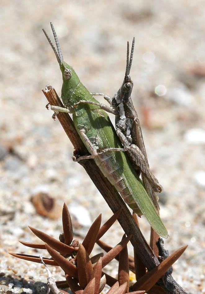 Pyrgomorpha conica - Kegelkopfschrecke - Fam. Pyrgomorphidae  -  Kos - Caelifera - Kurzfühlerschrecken - grasshoppers