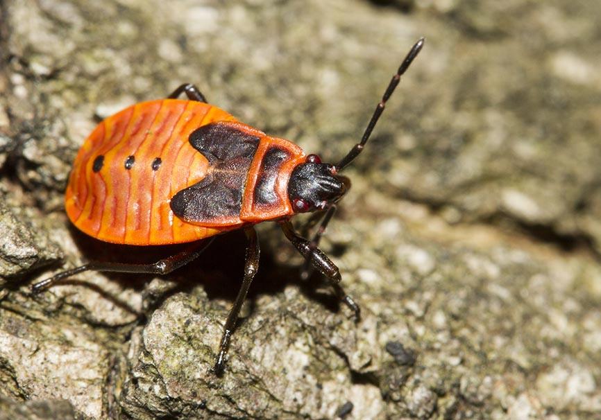 Pyrrhocoris apterus - Gemeine Feuerwanze (juv.) - Fam. Pyrrhocoridae - Feuerwanzen - Heteroptera - Wanzen - true bugs