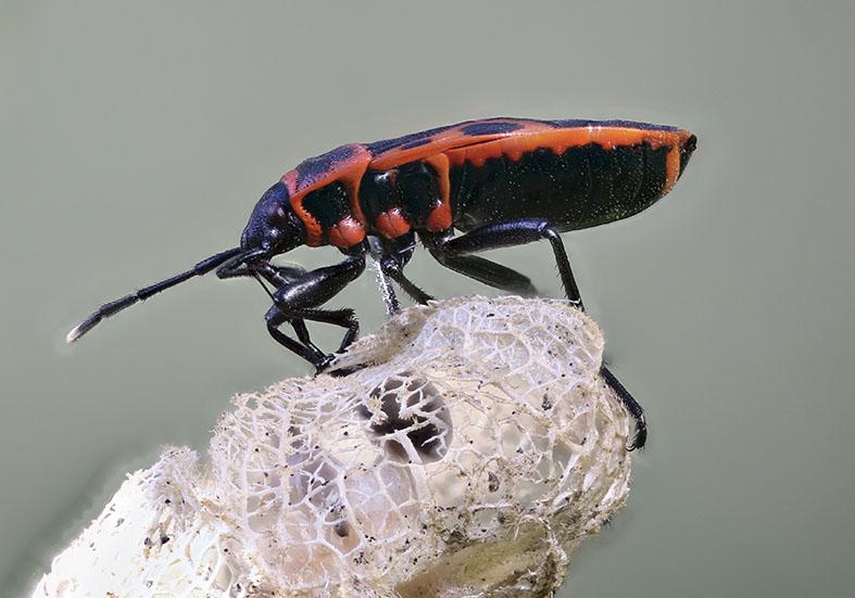 Pyrrhocoris apterus - Gemeine Feuerwanze - Fam. Pyrrhocoridae - Feuerwanzen  - Heteroptera - Wanzen - true bugs
