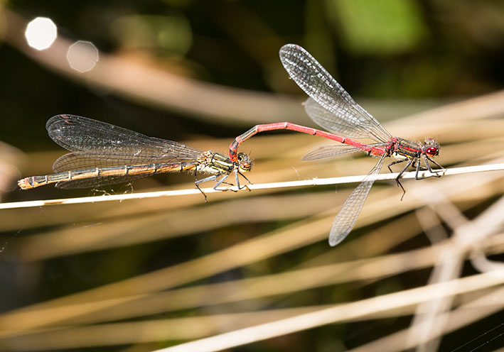 Pyrrhosoma nymphula - Frühe Adonislibelle - Fam. Coenagrionidae - Schlanklibellen - Zygoptera - Kleinlibellen - damselflies