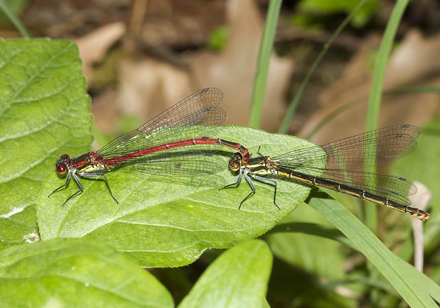 Pyrrhosoma nymphula - Frühe Adonislibelle - Fam. Coenagrionidae -  Zagori - Epiros - Zygoptera - Kleinlibellen - damselflies