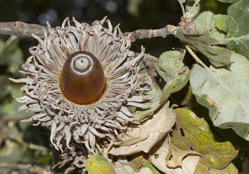 Quercus ithaburensis ssp. macrolepis - Walloneneiche  - Naxos - Wald - Forest