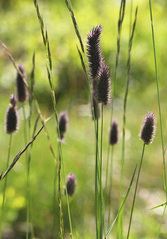 Phleum rhaeticum - Rätisches AlpenLieschgras - Fam. Poaceae - Bergwald/Waldgrenze - mountain forest/timberline