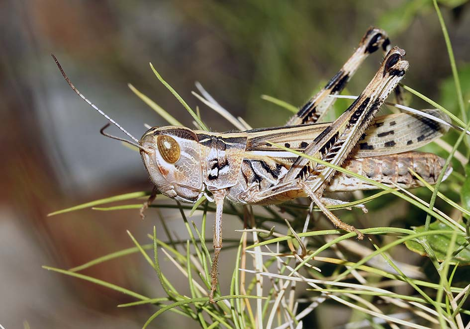 Ramburiella turcomana - Fam. Acrididae/Gomphocerinae  -  Samos - Caelifera - Kurzfühlerschrecken - grasshoppers