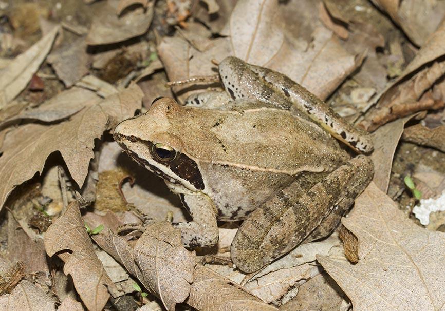 Rana dalmatina - Springfrosch - Zagori - Epirus - Ranidae - Frösche - frogs