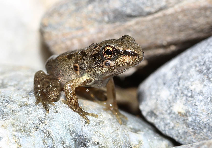 Rana temoraria - juv. - nach der Metamorphose - Amphibienentwicklung - amphibian development