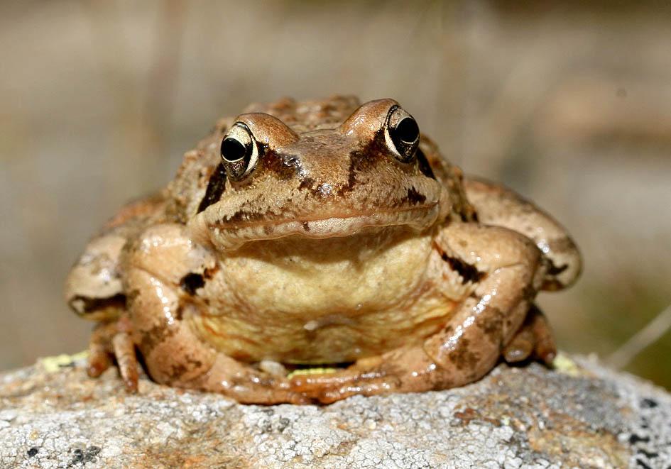 Rana temporaria - Grasfrosch -  - Ranidae - Frösche - frogs