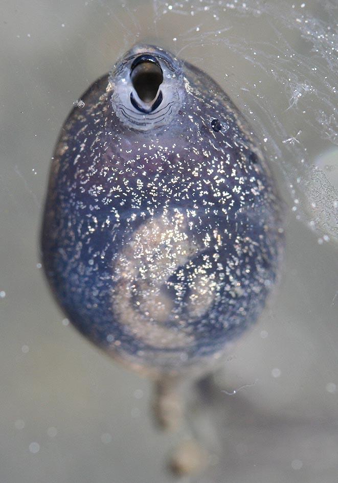Rana temporaria - Kaulquappe - tadpole -  - Amphibienentwicklung - amphibian development