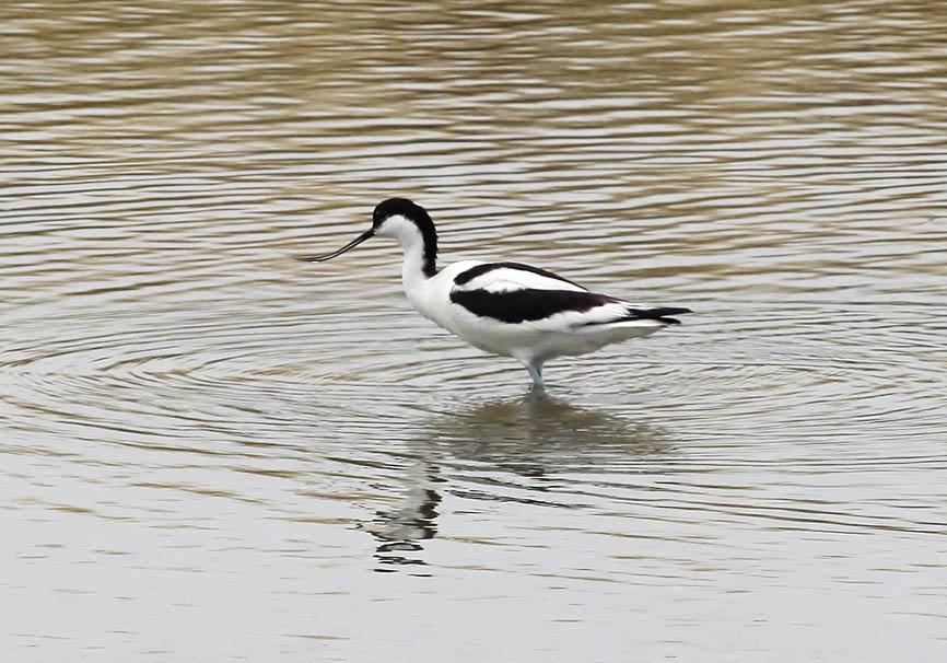 Recurvirostra avosetta - Säbelschnäbler - Lesbos - Aves - Vögel - birds