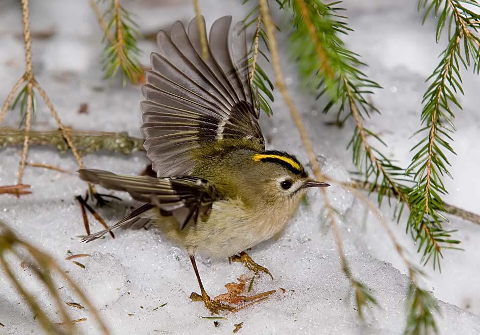 Regulus regulus - Wintergoldhähnchen - Goldcrest -  - Passeres - Singvögel - songbirds