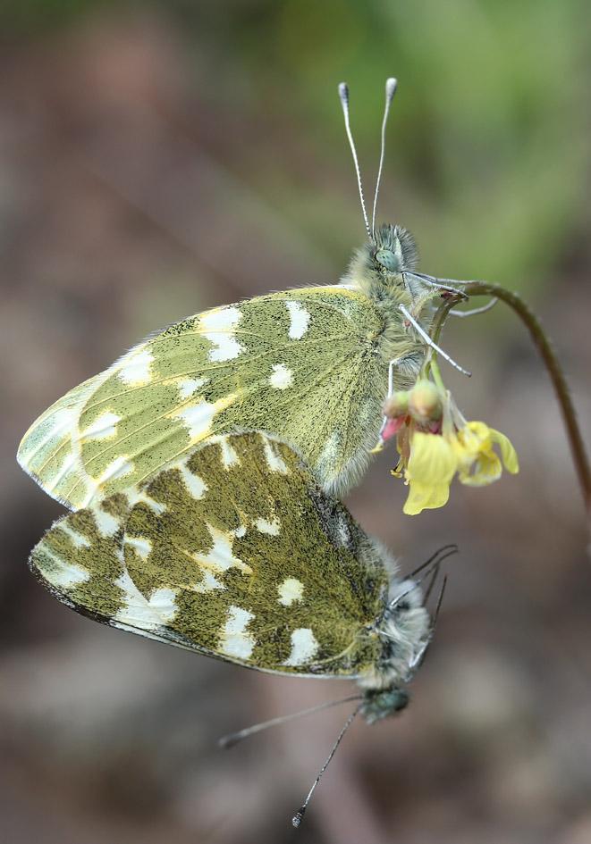 Pontia daplidice - Resedafalter  - Gran Canaria - Pieridae - Weißlinge - whites