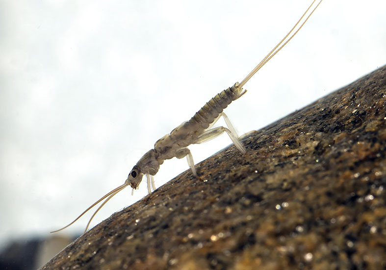 Rhabdiopteryx cf. neglecta -  - Plecoptera - Steinfliegen - stoneflies