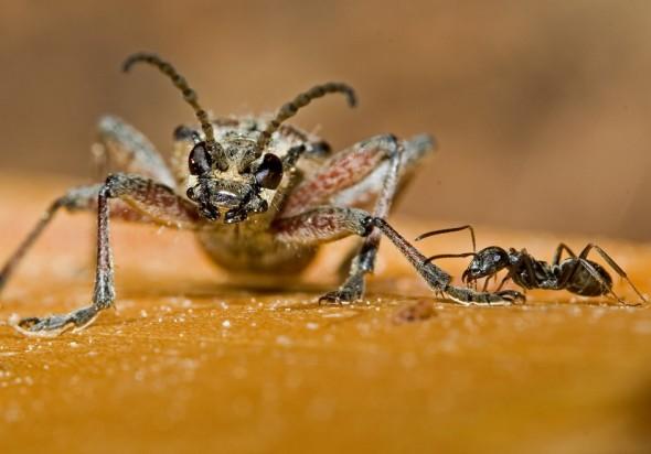 Rhagium inquisitor - Zangenbock - UFam. Lepturinae - Cerambycidae - Bockkäfer - long-horned beetles