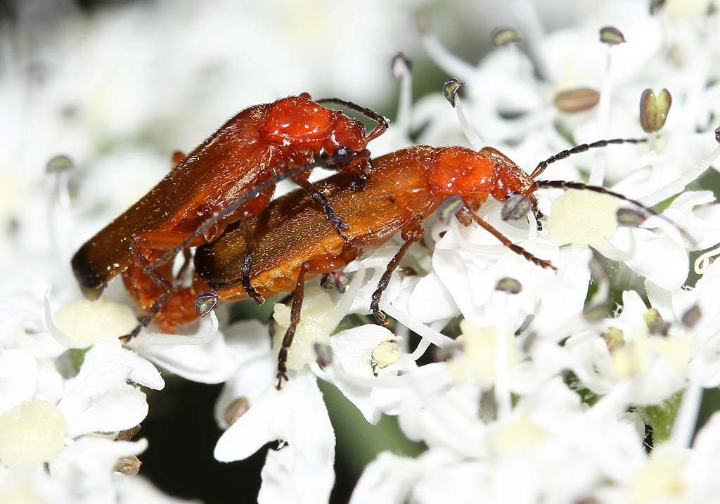 Rhagonycha fulva - Rotgelber Weichkäfer -  - Cantharidae - Weichkäfer