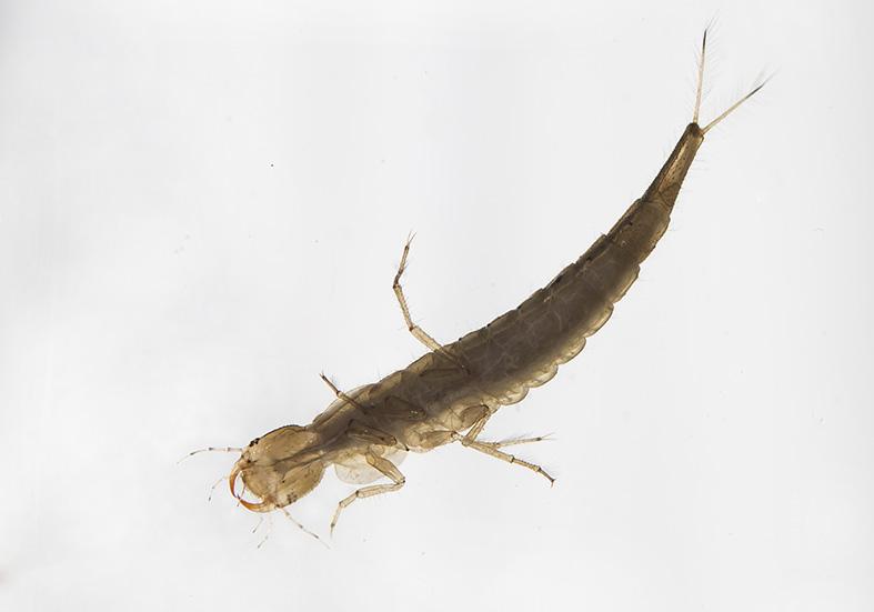 Rhantus sp. -  - Dytiscidae - Schwimmkäfer - water beetles