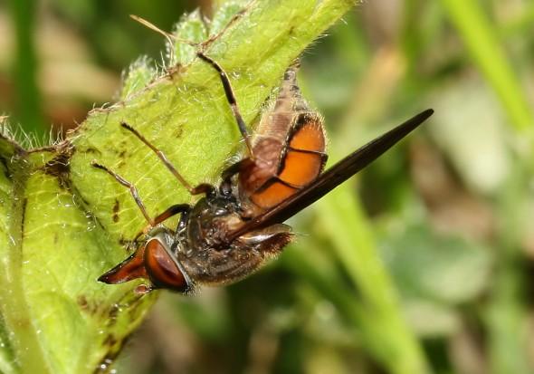 Rhingia campestris - Schnauzenschwebfliege - Fam. Syrphidae - Schwebfliegen - Brachycera (Fliegenartige) - Aschiza