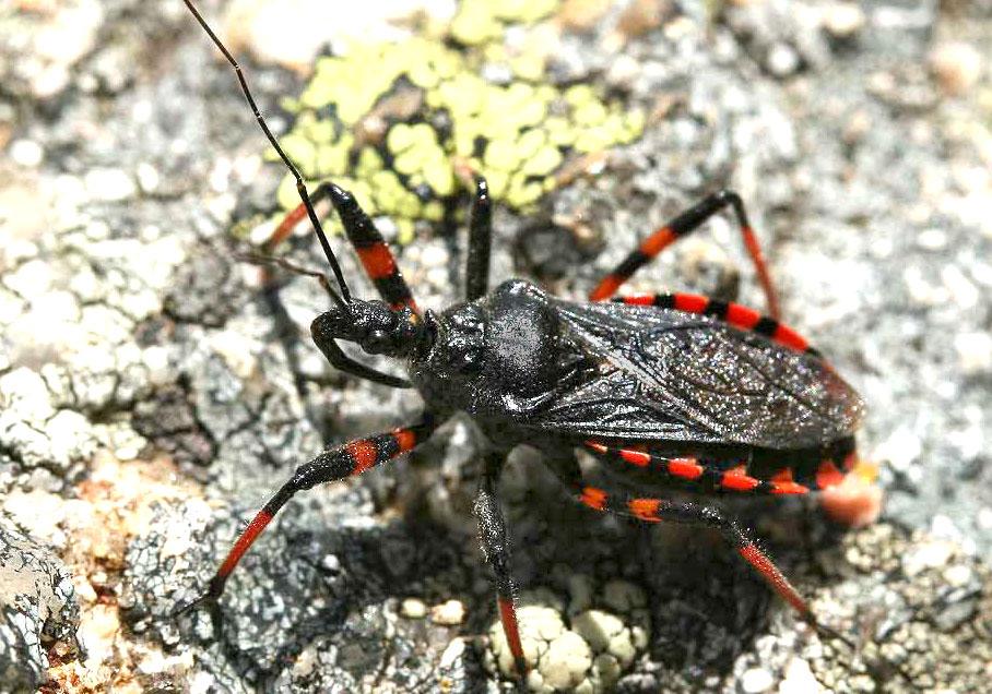 Rhinocoris annulatus - Geringelte Mordwanze - Fam. Reduviidae - Raubwanzen - Heteroptera - Wanzen - true bugs