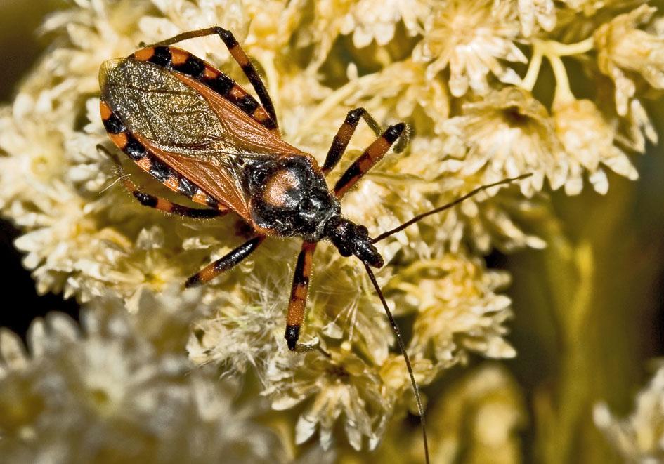 Rhynocoris iracundus  - Fam. Reduviidae  -  Kroatien - Heteroptera - Wanzen - true bugs
