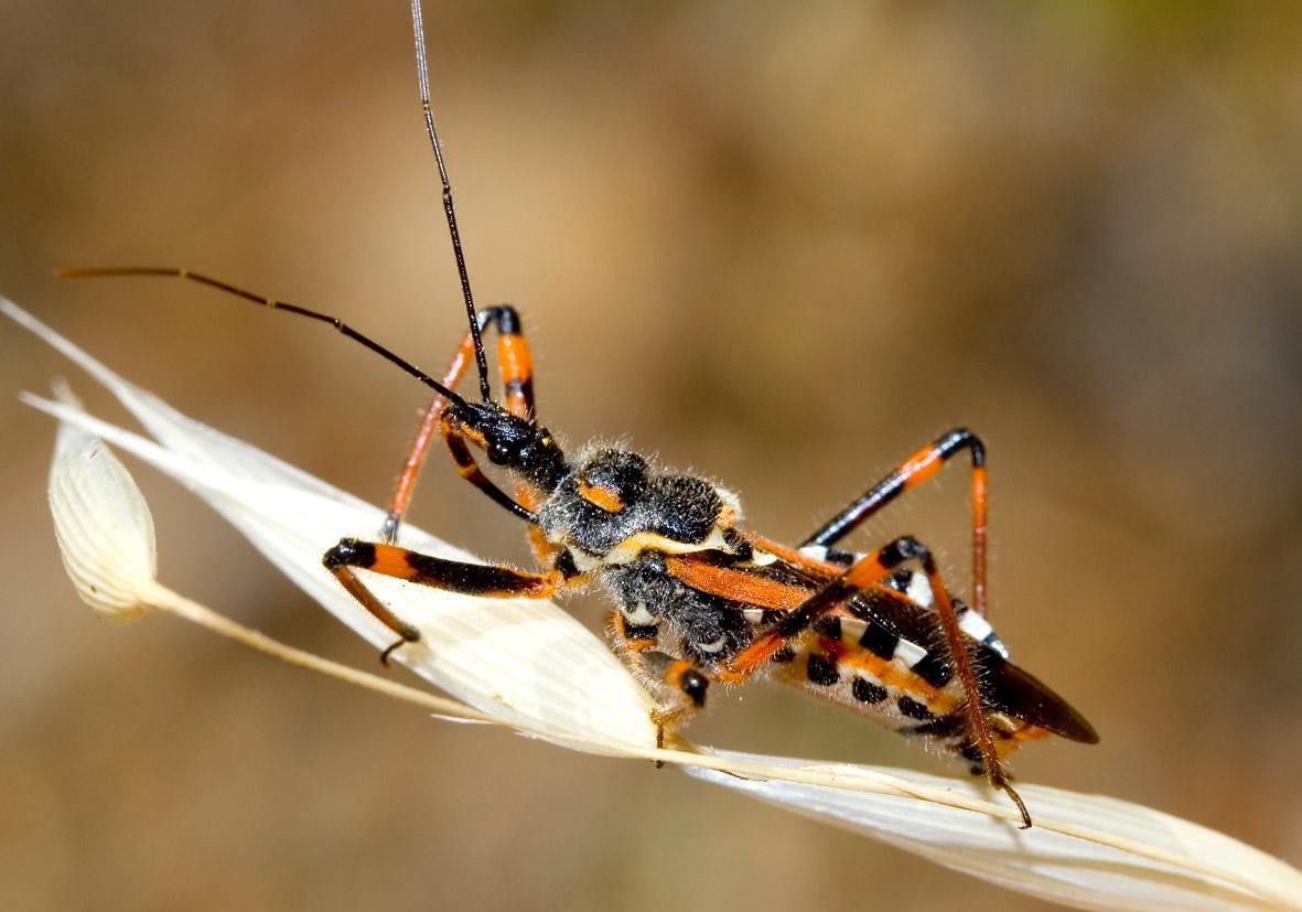 Rhynocoris punctiventris - Raubwanze - Fam. Reduviidae  -  Kos - Heteroptera - Wanzen - true bugs