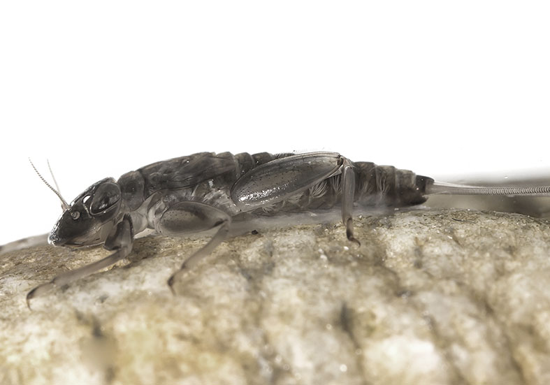 Rhithrogena austriaca -  - Ephemeroptera - Eintagsfliegen - mayflies