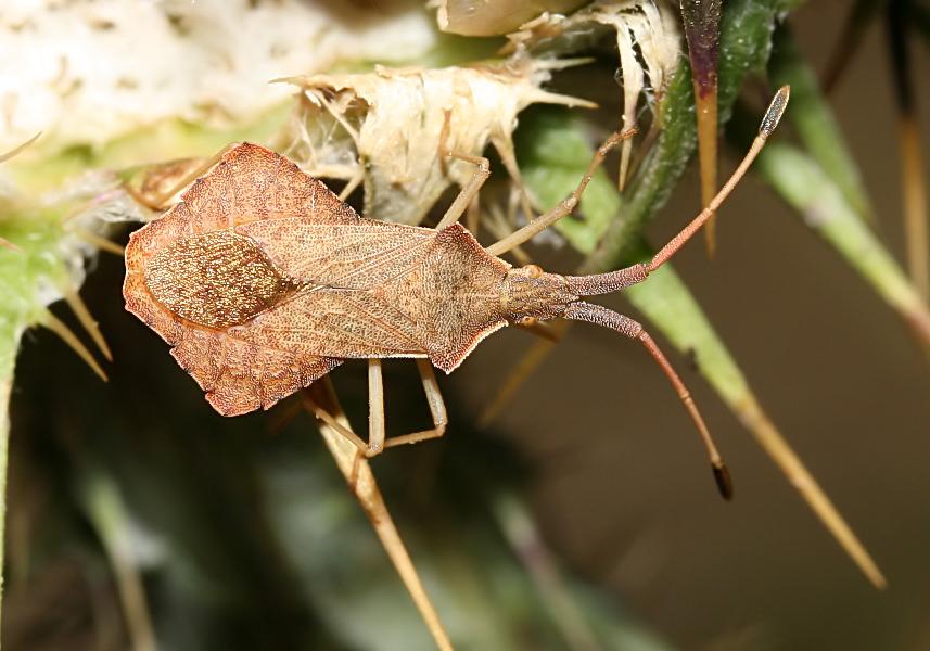Syromastus rhombeus - Rhombenwanze   - Fam. Coreidae  -  Ikaria - Heteroptera - Wanzen - true bugs