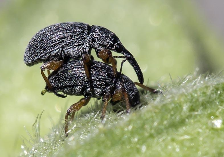 Rhopalapion longirostre  Langrüssliges Stockrosen-Spitzmäuschen -  - Curculionidae - Rüsselkäfer - weevils