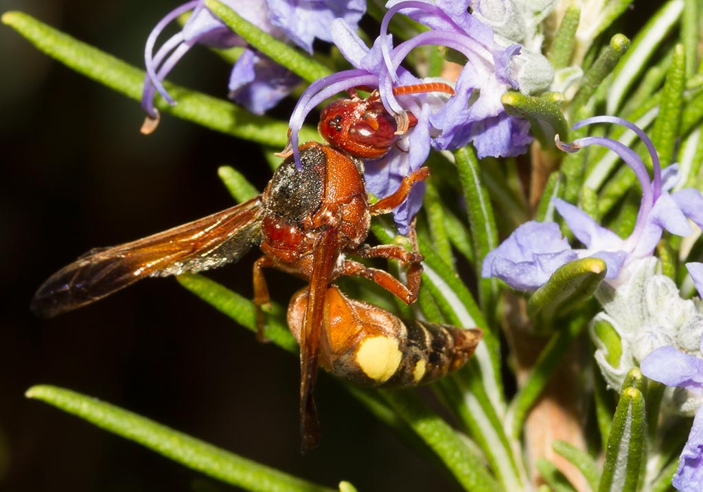 Rhynchium oculatum  - Eumeninae (Töpferwespen) - Sardinien - Vespidae - Faltenwespen -wasps