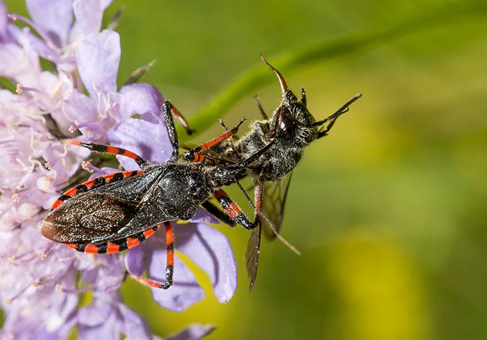Rhynocoris annulatus - Geringelte Mordwanze - Fam. Reduviidae - Raubwanzen - Heteroptera - Wanzen - true bugs