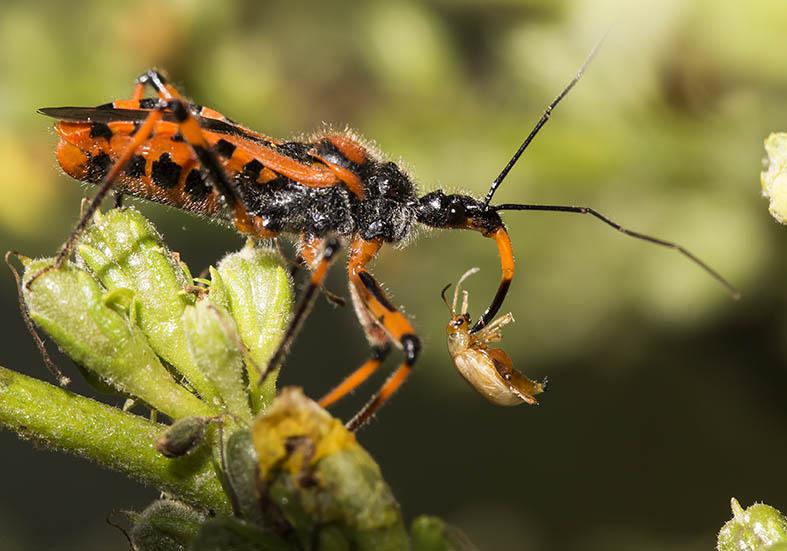 Rhynocoris iracundus - Fam. Reduviidae  -  Fam. Reduviidae  -  Zagori (Griechenland) - Heteroptera - Wanzen - true bugs