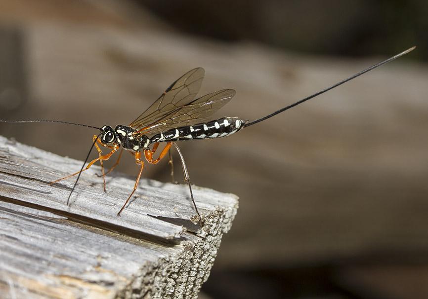Rhyssa persuasoria (female)   Holzschlupfwespe - Fam. Ichneumonidae (Schlupfwespen) - diverse Hymenopteren - other hymenopteras