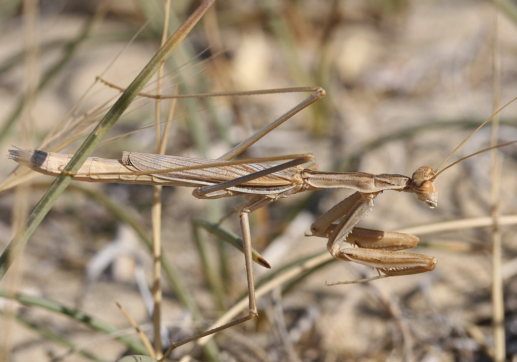 Rivetina balcanica male - Kos - Mantodea - Fangschrecken - praying mantises