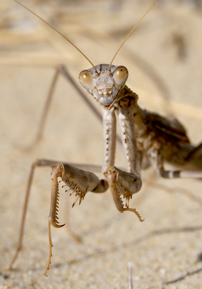 Rivetina balcanica - Serifos - Mantodea - Fangschrecken - praying mantises