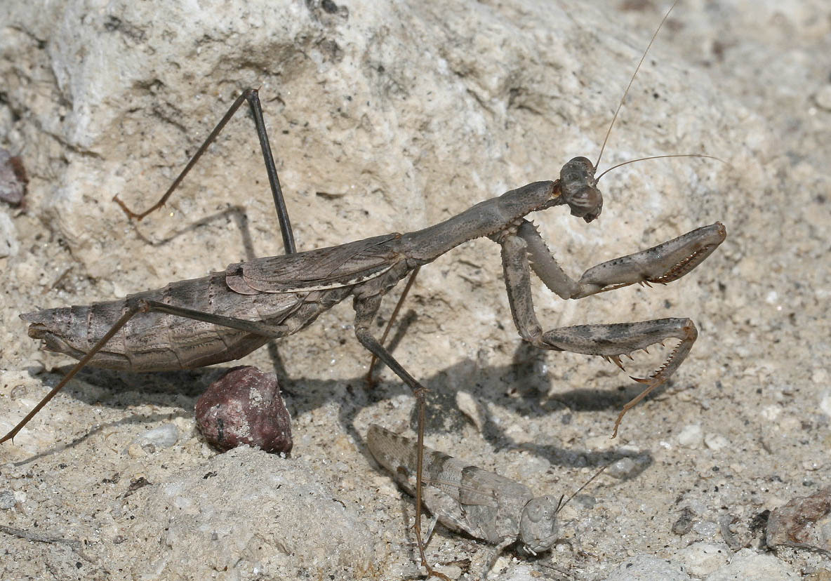 Rivetina balcanica - Kos - Mantodea - Fangschrecken - praying mantises