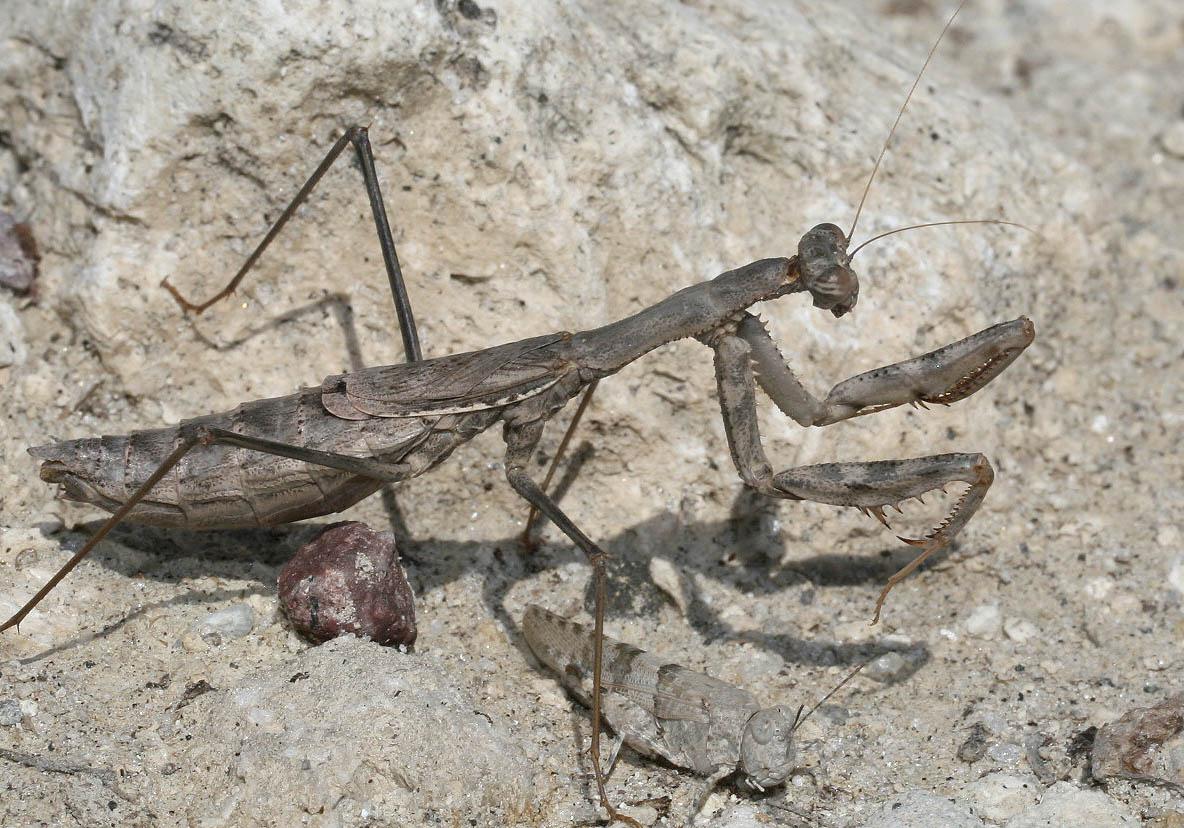 Rivetina balcanica - Kos - Mantodea - Fangschrecken - praying mantises