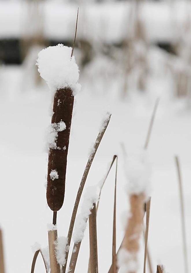 Rohrkolben -  - Winter