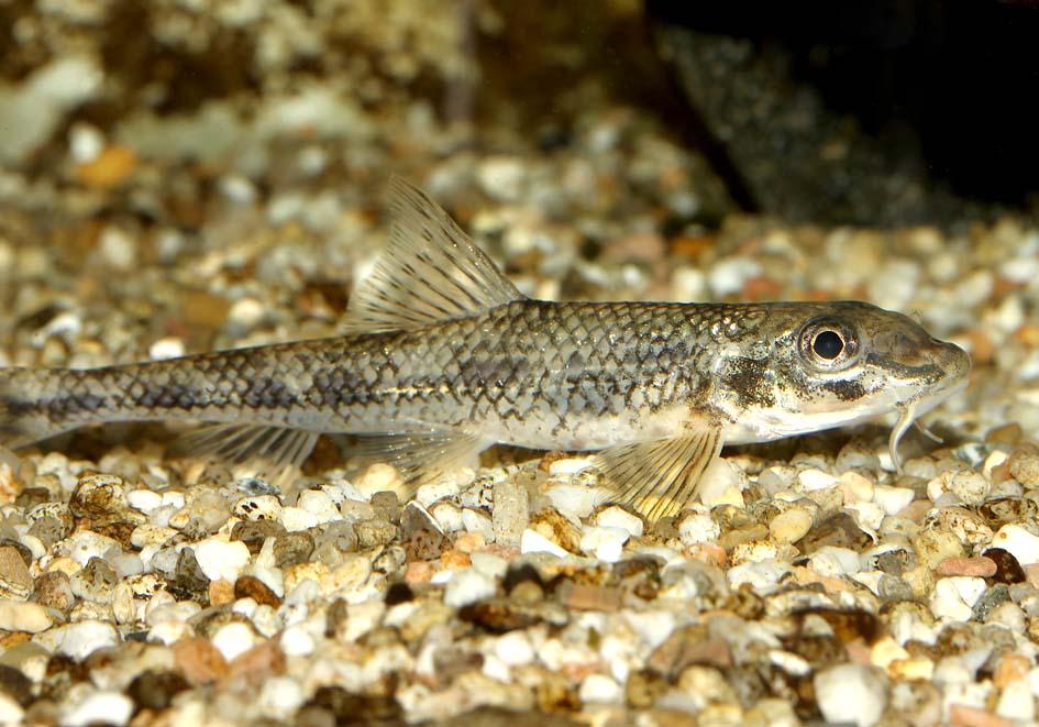 Romanogobio vladykovi  (Gobio albipinnatus) - Weißflossengründing -  - Cypriniformes - Karpfenartige